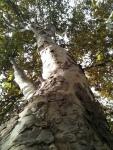 Árboles de más de 30 metros, sin un adecuado cuidado, son un peligro.